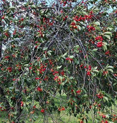 Unsere Produkte: Dr. Bosse Traditionsobst - Früchte, Kirschen
