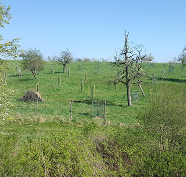 Aufforstung Obstbaum - Dr. Bosse Traditionsobst